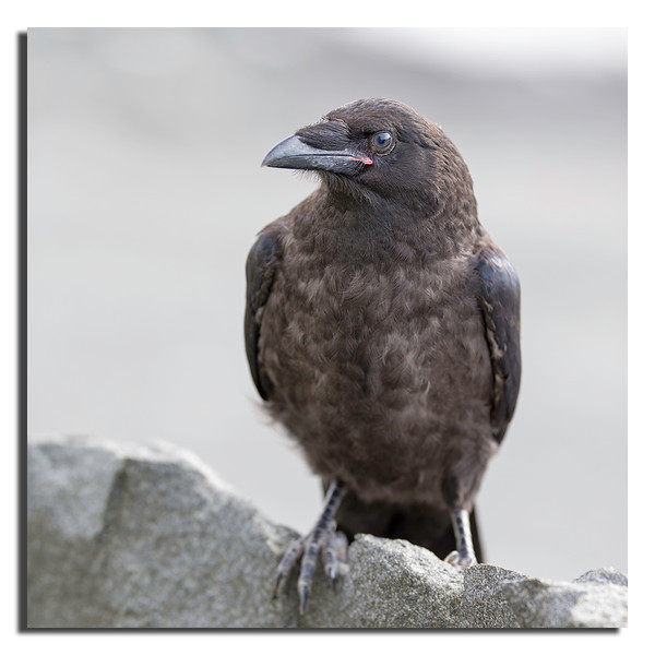 391.  Few weeks old Raven; just left the nest. Canon 1D X & Canon 200mm f/2,0 L IS at f/2,0.