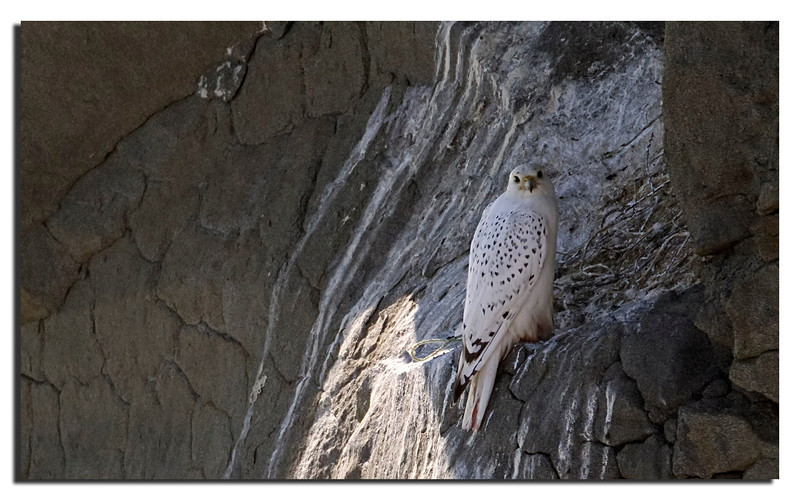 349. Gyrfalcon at it's nest.