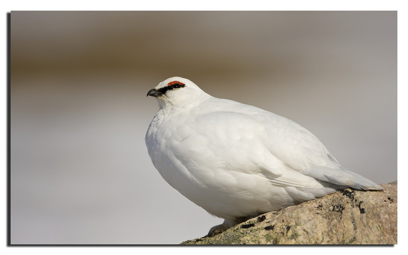 24. Ptarmigan Rype, male. May 2008.