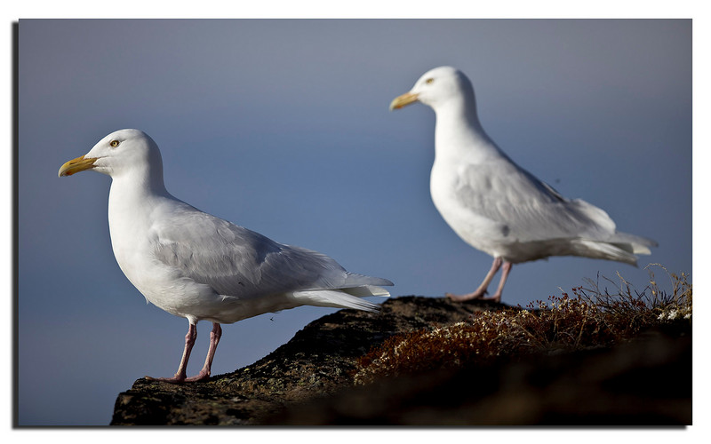 7. Gulls.....notice the damm Mosquitoes.............