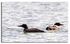434. Great Northern Divers....................my first.......................