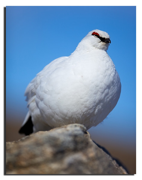 119. Ptarmigan Rype, Male. Canon 5DII & Canon 300mm f/2,8 L IS with Polarizer. 15th May 2010.
