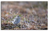 146. Snow bunting, large chick. Canon 5DII & Canon 500mm f/4,0 L IS.