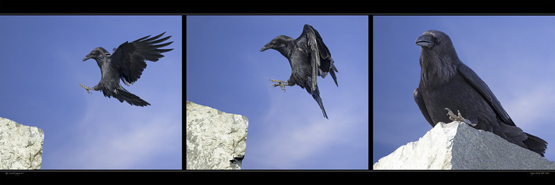 387. Ravens; so shy, so elusive, so intelligent: so hard to photograph. Canon 1D X  & Canon 500mm f/4,0 L IS II.