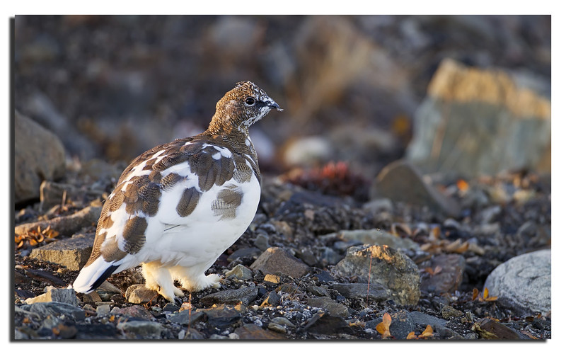 268. A small family of Ptarmigan Rypes in their half Summer half Winter Plumage. 5th September 2011 6.47 AM.