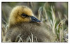 632. Snow Goose Gosling........