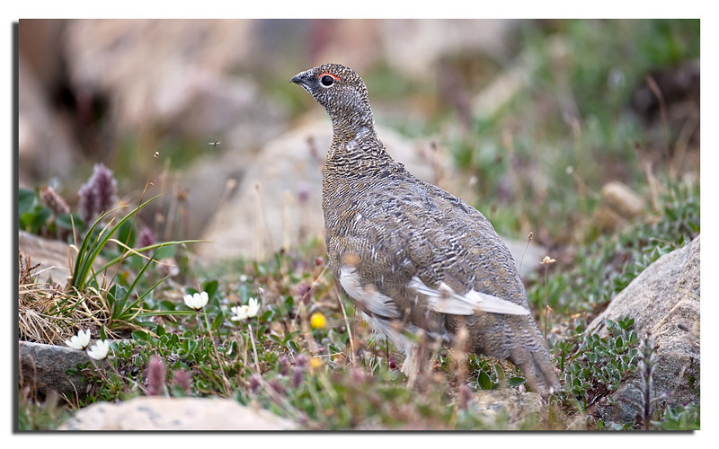 150. Ptarmigan Rype in summer plumage, almost impossible to see if they are not moving.