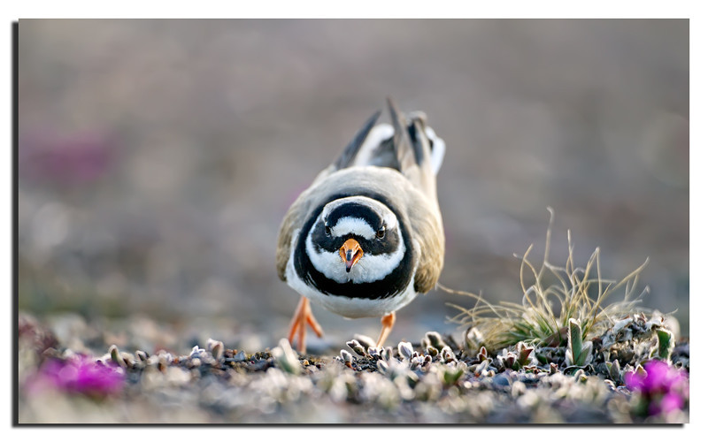 223. Ringed Plover..................a brave little fellow when it comes to protecting its eggs.................<br /> Canon 1D Mark IV & Canon 500mm f/4,0 L IS & Canon Extension Tube EF 25 II.
