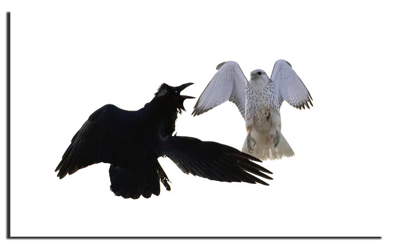 279. Raven & Gyrfalcon; fighting with each other.........................
