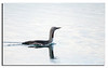 462. Red-throated Diver