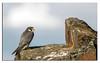 585. Peregrine Falcon.
