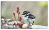 474. Ringed Plover chick.........so tiny, so fragile.........