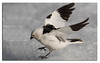 588. Snow Bunting collecting Mosquitoes from the ice.