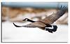 318. Canada Goose.