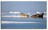 238. Juli 2th 2011........what a great experience................! Discovering 3 Walruses sun bathing on an ice floe.