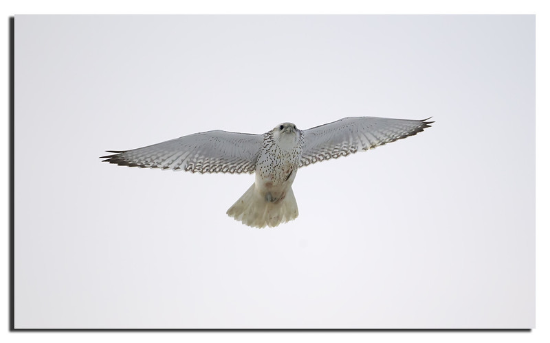277. Gyrfalcon, almost completely white. A very effective camouflage now the snow has subsided.