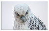 538. A small serie from a great night with a Gyrfalcon......Saturday 29th August 2015.