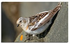 232. Snow Bunting, Female.