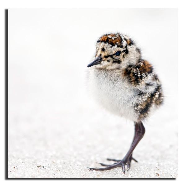 410. Baird's Sandpiper chick.