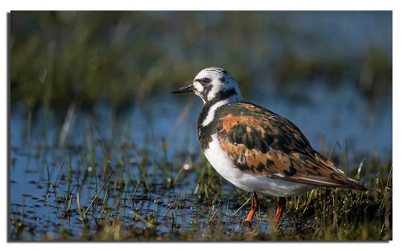 406. Ruddy Turnstone in breeding plumage @ 700mm.