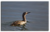 236. Red-throated Diver.