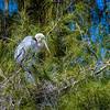 Greaet Blue Heron Nesting