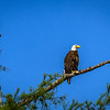 Bald Eagle with FIsh and fishing line