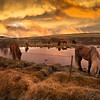 Horse's At Sunset, South Iceland