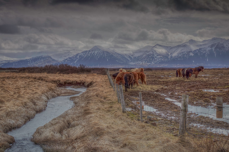 Horse's In North Iceland