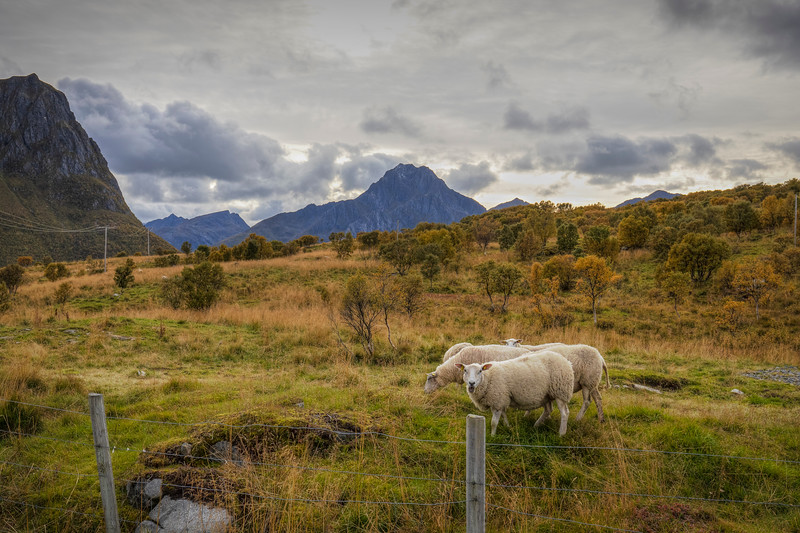 Sheep Behind Fence, Lofoten Norway