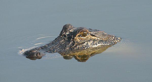 My Alligator