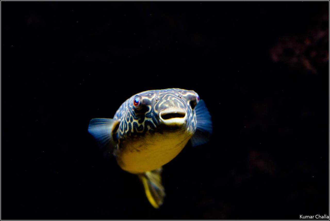 Puffer Fish at the Shedd Aquarium