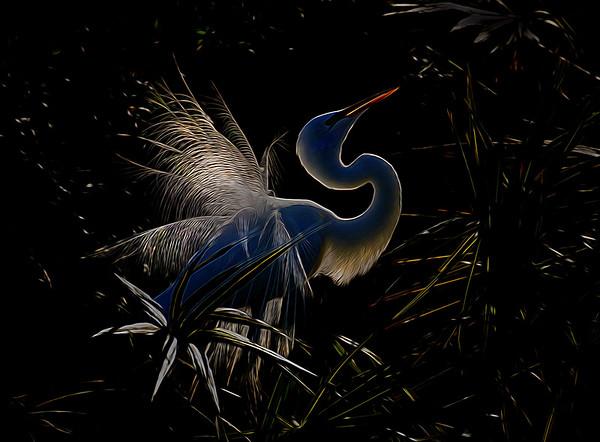 Back lit Great Egret