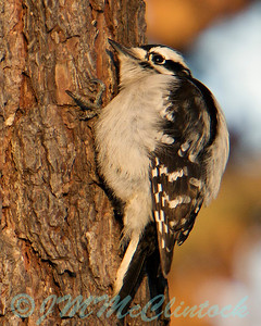 Downy woodpecker listening for a meal.