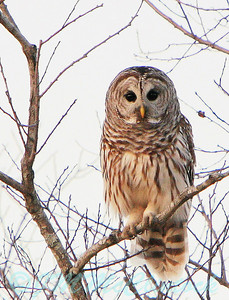Chased the Barred Owl around a bit.  He did let me get a little closer.