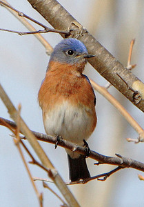 An Eastern Bluebird.  It won't let me get very close at all.