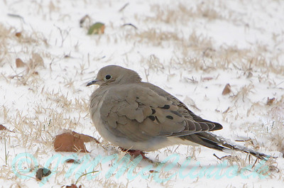 Dove with iced up tail feathers.  He had no trouble flying.