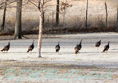 Turkeys near the back fence