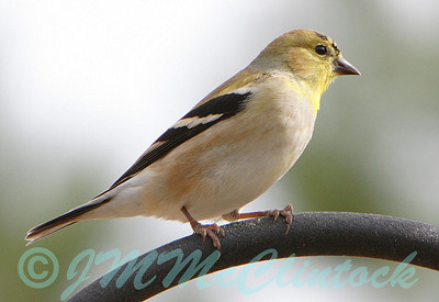 A Gold Finch on the back yard feeder.