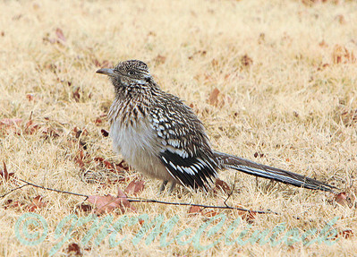 This roadrunner seemed to be displaying for a female or another male.  I never saw another roadrunner in the vicinity.  Perhaps he was just trying to warn me off.