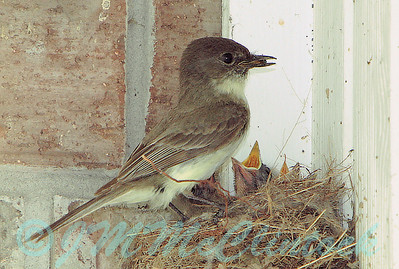 Eastern Phoebe with chicks.  The nest is under the back porch eves.