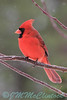 A cardinal sitting in the crab apple tree.