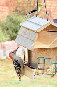 A Red-bellied Woodpecker and a Gold finch.  I don't see the woodpecker often.