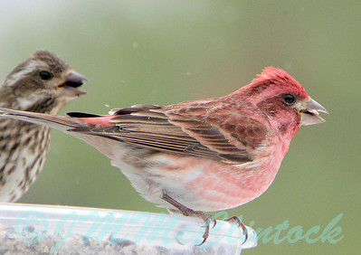 A male Purple Finch in the foreground with a femal in the background.