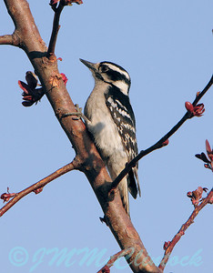 A Downy Woodpecker?