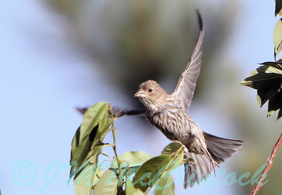 A female House Finch taking off