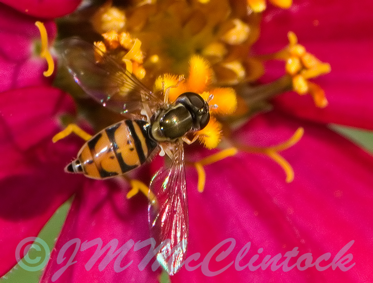 Another shot of a Hover Fly