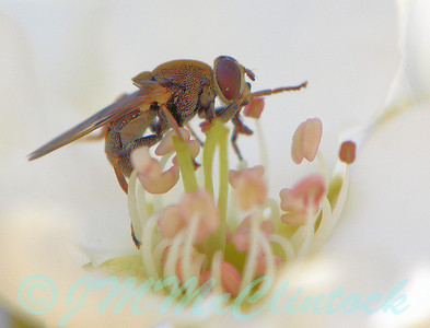 Ack!  A tiny Hover Fly on the flower picture!