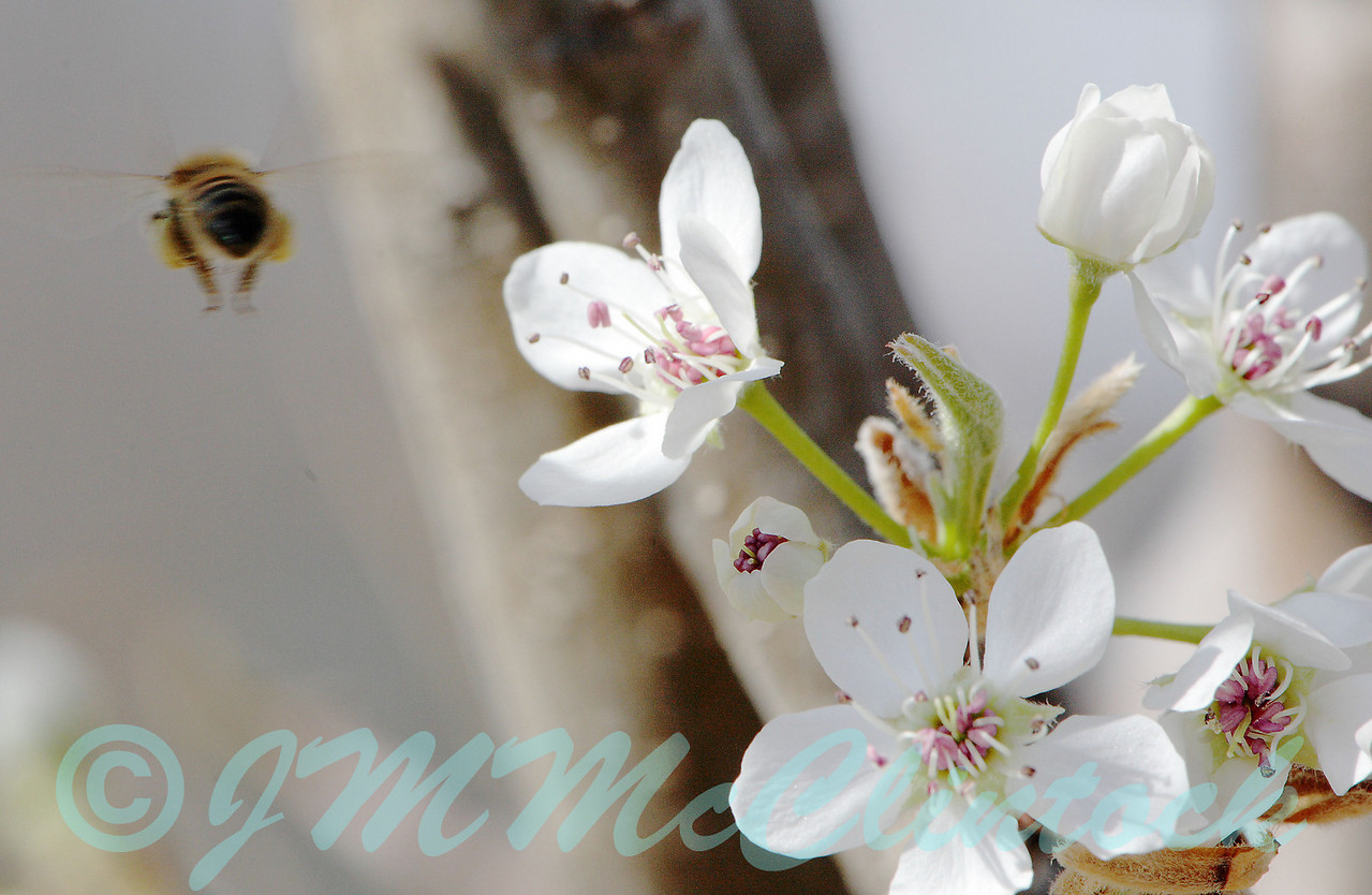 A honey bee that was on a Bradford Pear blossom.  You hafta be quick to snap the shot or they are gone.