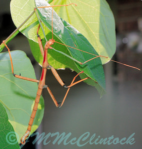 These insects usually feed on rose leaves.  Note the thorns on the legs which mimic rose thorns.